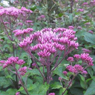 ユーパトリウム マクラツム 'レッドドォワーフ' Eupatorium maculatum 'Red Dwarf'