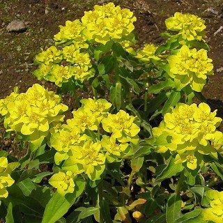 ユーホルビア ポリクロマ Euphorbia poluchrome