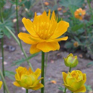 トロリウス 'ゴールデンクィーン' Trollius chimensis 'Golden Queen'