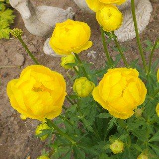 トロリウス 'レモンシュープリーム' Trollius europaeus 'LemonSupreme'