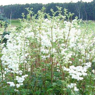 フィリペンデュラ ブルガリス 'フローレプレノ' Filipendula vulgaris 'Flore Pleno'