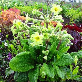プリムラ 'グリーンレース' Primula 'Green Lace'