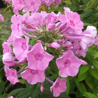 フロックス パニキュラータ 'ジュニオールブーケット' Phlox paniculata 'Junior Bouquet'