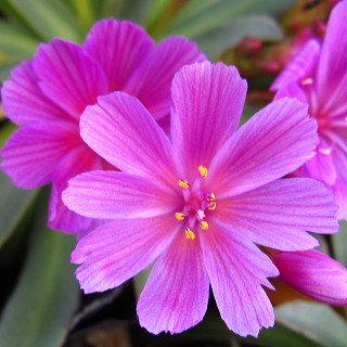 レウシア 'リトルラズベリー' Lewisia longipetala 'Little Raspberry'