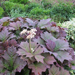 ロジャージア 'ブロンズビューティー' Rodgersia podophylla 'Bronze beauty'