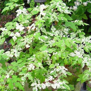 斑入りノブドウ Ampelopsis glandulosa var.brevipedunculata 'Elegans'