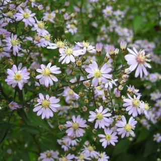 アスター 'アイデアル' Aster cordifolium 'Ideal'