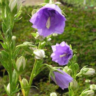 カンパニュラ パーシシフォリア 'ダブルブルー' Campanula persicifolia 'Double Blue'