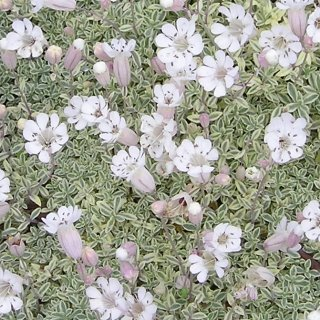 シレネ ユニフローラ 'ドゥルーエットバリエガータ'  Silene uniflora 'Druett's Variegated'