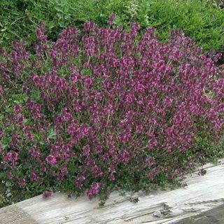 タイム クリーピングタイム 紅花  Thymus serpyllum 'Coccineus'
