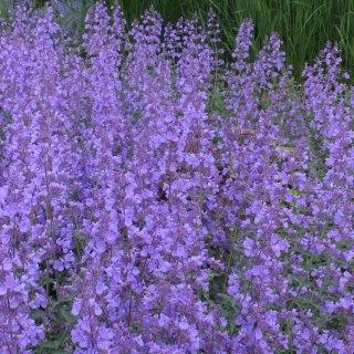 ネペタ ラセモサ 'ウォーカーズロウ'  Nepeta racemosa 'Walker's Low'