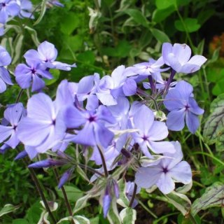 フロックス ディバリカータ 'モントローズトリカラー'  Phlox divaricata 'Montrose Tricolor'