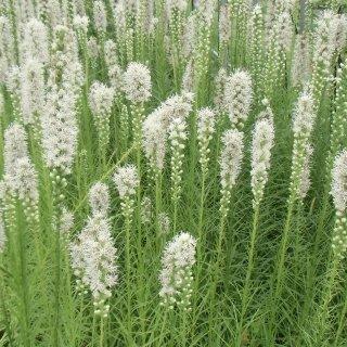 リアトリス 'フローリスタンホワイト'  Liatris spicata 'Floristan White'