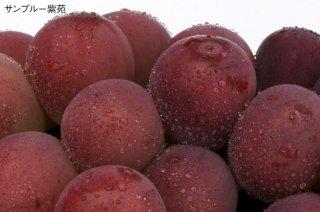 紫苑 家庭用 2kg【10月下旬以降に出荷予定】