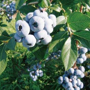 【時季限定】J-1 北海道 自然農園の有機ブルーベリー