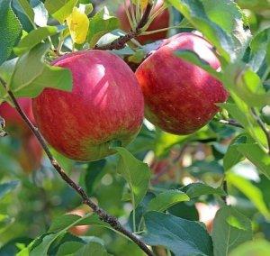 平井さんの葉とらずりんご5kg【送料込み】 68002