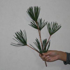 高野槙 切枝 40cm 1本 生花 切花