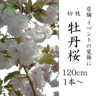 [季節の桜][2019年3月15日頃よりの発送] 牡丹 桜 花材 ピンク 店舗 装飾 高さ約1.15m 1本から注文可能