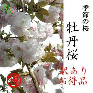 [季節の桜 予約品][2019年3月20日頃から発送][訳あり] 牡丹岸桜 高さ1m〜0.6m 小枝 1束 10本程度 切花