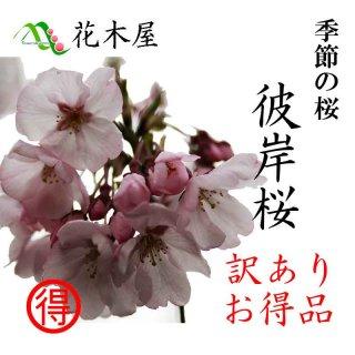[季節の桜][発送は3月上旬より][訳あり] 彼岸桜 高さ1m〜0.6m 小枝 1束 10本程度 切花