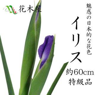イリス アイリス 70cm〜50cm 1本より ひな祭り 雛祭り ひなまつり 紫 花材 桃の節句 生花 花