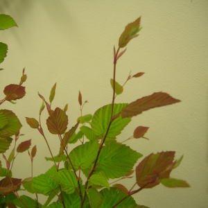 生花 切花 葉物 伊予水木 日向水木 姫水木 115cm程度 1本から購入可能 5月8日ごろよりの出荷