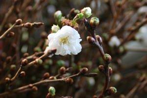 [10月下旬より販売開始] 寒桜 高さ 約1.15m 10本束 1束 切花 生花[花材][秋][まとめ買い]