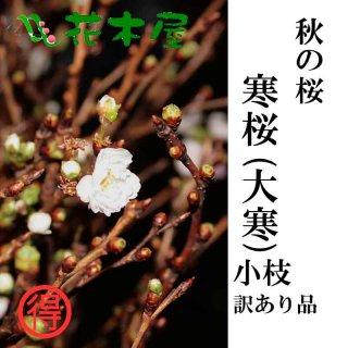 [季節の桜][発送は10月下旬から11月下旬] 寒桜 高さ1m〜0.6m 小枝 1束 10本程度 切花
