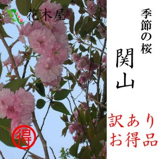 [季節の桜.濱谷様] 関山 高さ0.3m〜0.4m 小枝 1束 5本程度 切花