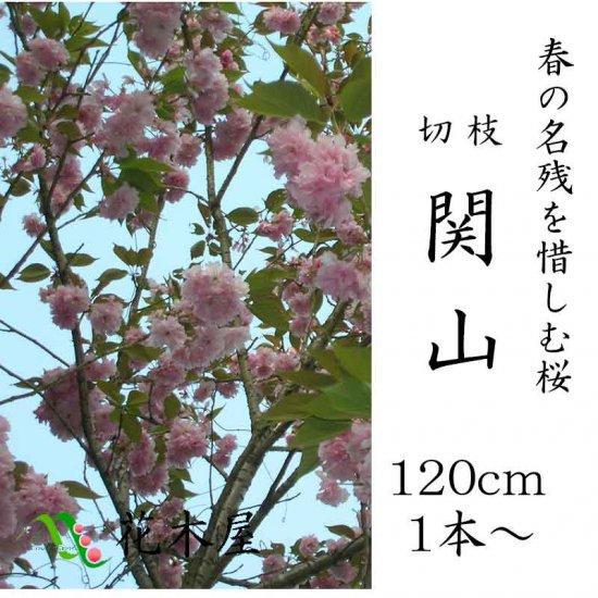 八重の桜関山 高さ約1.15m