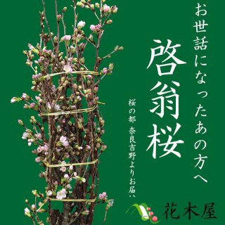 [2018年12月20日以降発送分] 啓翁桜 高さ 約1.15m 1本 生花