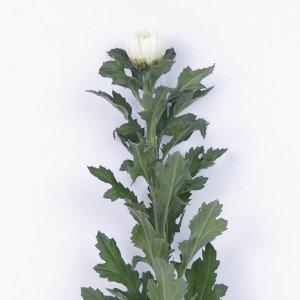 菊の花 一輪菊 白 70〜80センチ 1本 切花 生花