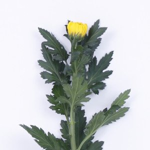 輪菊 黄 菊 花 70〜80センチ 1本 切花 生花