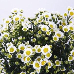 小菊 白 花 65〜75センチ 10本切花生花