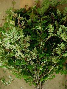 [5月下旬ごろより出荷開始]深山南天 枝もの 115cm程度 花材 生花 1本から16本