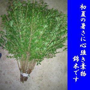 [花材][6月より出荷開始] 錦木お稽古向け 1本からご購入可能です。