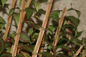 錦木 お稽古向け 120cm程度 1把5本 生花