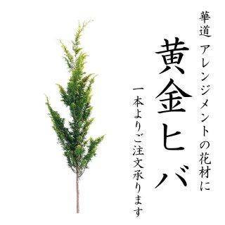 [大量ご注文の場合は日時指定不可の場合がございます] 黄金ヒバ 110cm程度 1本 切花 リース材料