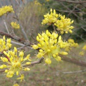 黄色の花が2度咲く花 サンシュ[山洲 さんしゅ]1本 生花 切花 華道 稽古 花材 黄
