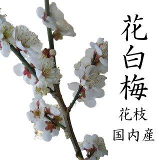 [12月5日頃からの発送です]梅の花 一把 5本程度 120センチ前後