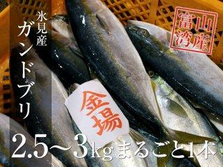 ガンドブリ(ハマチ) 1本 2.5〜3kg