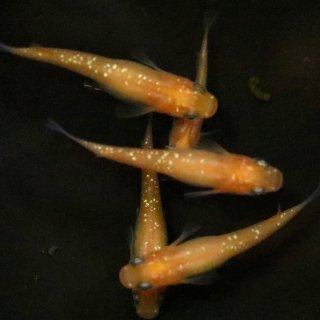 オレンジラメ