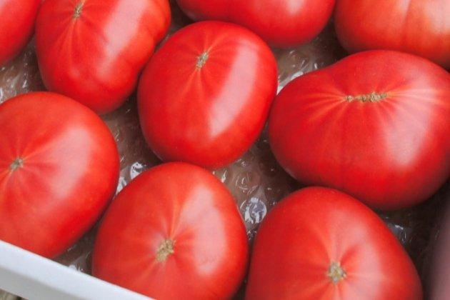 【佐川町産・高糖度フルーツトマト(訳あり/家庭用)】約1.8kg/トマトハウスナカムラ