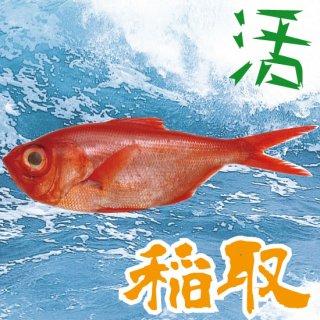 【活】【稲取産】稲取キンメ ※サイズをお選び下さい