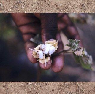 【予約商品】0002 Karunganni Cotton Yardage カランガニ原種コットン生地