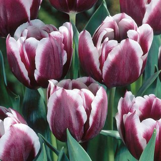 <img class='new_mark_img1' src='//img.shop-pro.jp/img/new/icons47.gif' style='border:none;display:inline;margin:0px;padding:0px;width:auto;' />TULIP ジャックポット10球