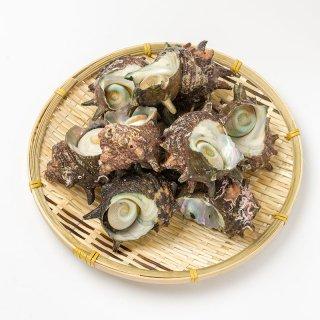 天然サザエ 1kg 8-15個入り(不揃い)
