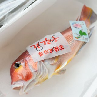 若狭ぐじ(甘鯛) 特大 約900g-1.1kg 1尾 【送料無料】