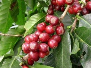グァテマラ アンティグア地区 ラ・ホヤ農園 ブルボン種100% 200g〈シティロースト/中深煎り〉