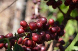 グァテマラ アンティグア地区 ラ・ホヤ農園 ブルボン種100% 200g〈イタリアンロースト/極深煎り〉